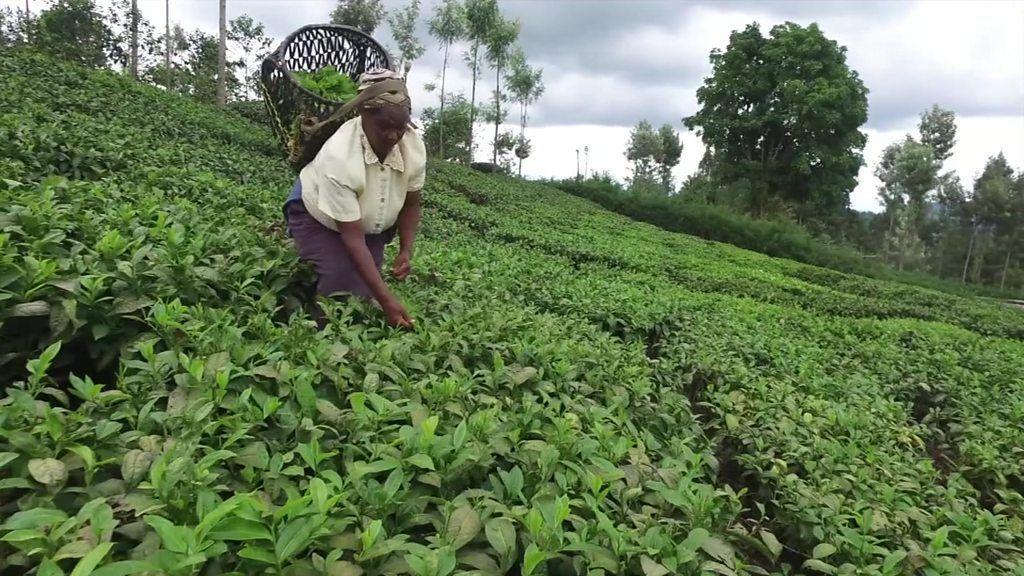 the rwandan tea industry